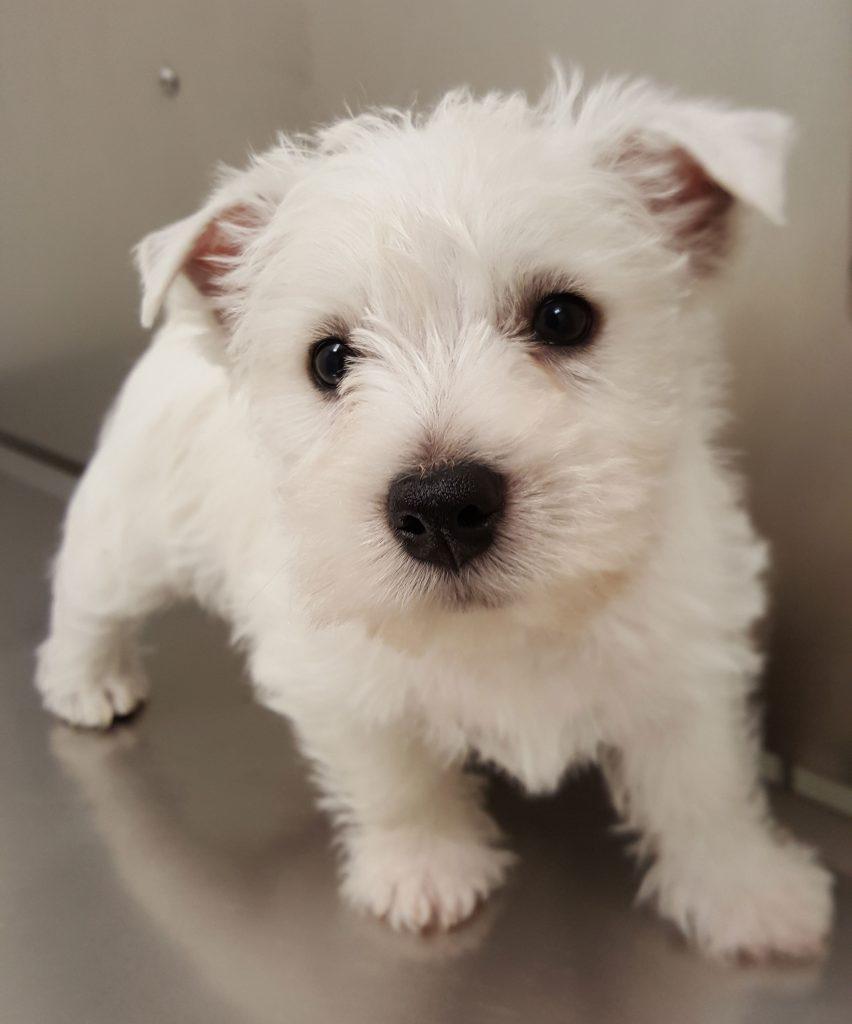 A white Westie puppy is seen.